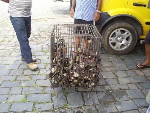Captura de caranguejo em Antonina é fiscalizada pelo IAP
